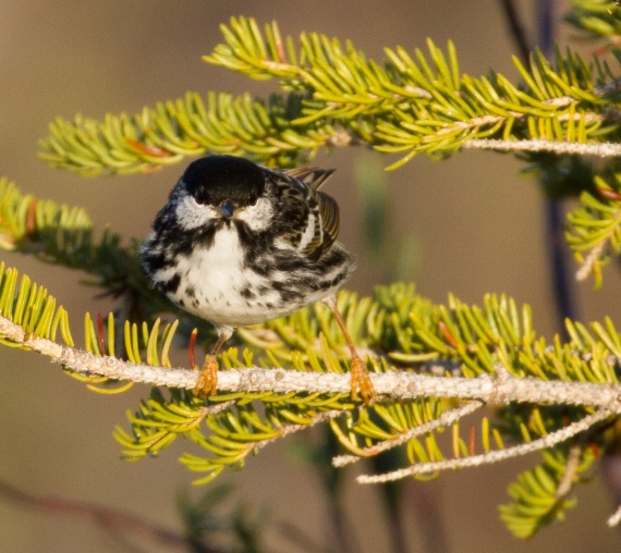 Blackpoll Warbler Goose Creek Road Churchill Manitoba Canada-2
