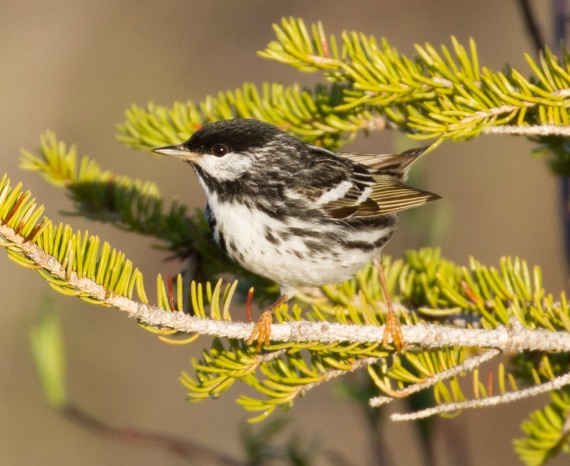 Blackpoll Warbler Goose Creek Road Churchill Manitoba Canada