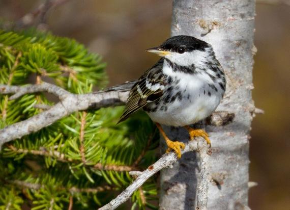 Blackpoll Warbler Twin Lakes Road Churchill Manitoba Canada