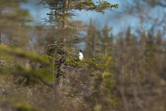 Bonaparte's Gull Twin Lakes Road Churchill Manitoba Canada-2