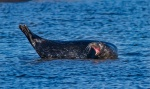 Harbor Seal Cape Merry Hudson Bay Churchill ManitobaCanada-13