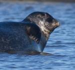 Harbor Seal Cape Merry Hudson Bay Churchill ManitobaCanada-7