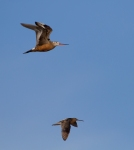 Hudsonian Godwit pair in flight Churchill Manitoba CanadaIMG_1256