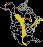 Hudsonian-Godwit