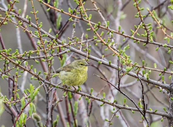 Orange-crowned Warbler Goose Creek Road Churchill Manitoba Canada