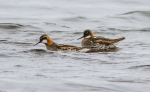 Red-necked Phalarope pair Goose Creek Road Churchill Manitoba Canada