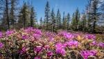 Rhododendron lapponicum Lapland Rosebay Churchill ManitobaCanada-2