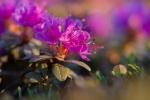 Rhododendron lapponicum Lapland Rosebay Churchill ManitobaCanada-3