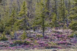 Rhododendron lapponicum Lapland Rosebay Churchill ManitobaCanada-5
