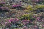 Rhododendron lapponicum Lapland Rosebay Churchill ManitobaCanada-6