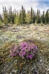 Rhododendron lapponicum Lapland Rosebay Churchill ManitobaCanada-8