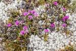 Rhododendron lapponicum Lapland Rosebay Churchill ManitobaCanada