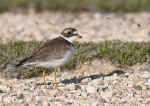 Semipalmated Plover Twin Lakes Road Churchill Manitoba Canada-2