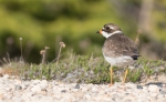 Semipalmated Plover Twin Lakes Road Churchill Manitoba Canada-3
