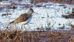 Solitary Sandpiper Twin Lakes Road Churchill Manitoba Canada