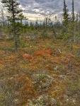 Taiga Boreal forest moss Goose Creek Road Churchill ManitobaCanada