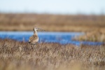 Whimbrel pair on The Fens Twin Lakes Road Churchill Manitoba Canada-2