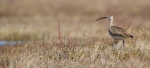 Whimbrel pair on The Fens Twin Lakes Road Churchill Manitoba Canada