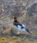 Willow Ptarmigan Twin Lakes Road Churchill Manitoba Canada-2