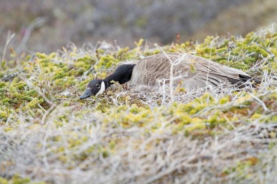 Canada Goose nest nesting Churchill Manitoba Canada