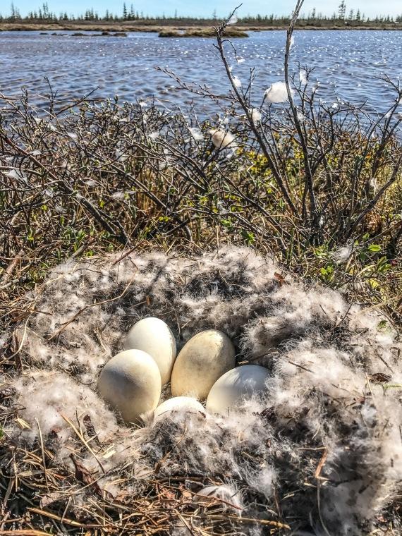 Canada Goose nest with eggs Launch Road Churchill Manitoba Canada