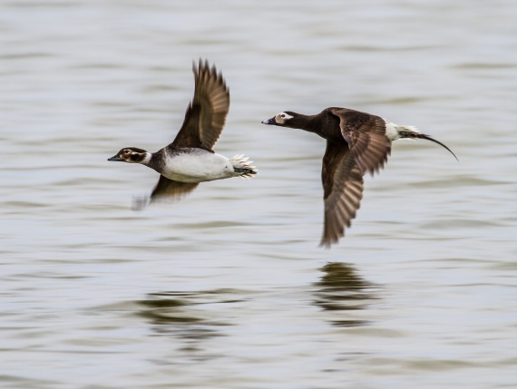 Long-tailed Duck pair Launch Road Churchill Manitoba Canada