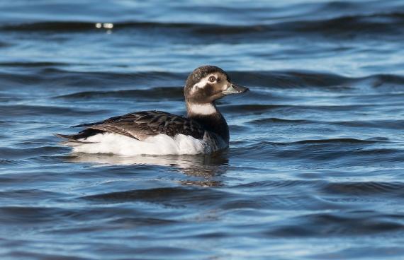 Long-tailed Duck Twin Lakes Road Churchill Manitoba Canada-4