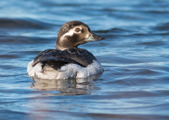 Long-tailed Duck Twin Lakes Road Churchill Manitoba Canada
