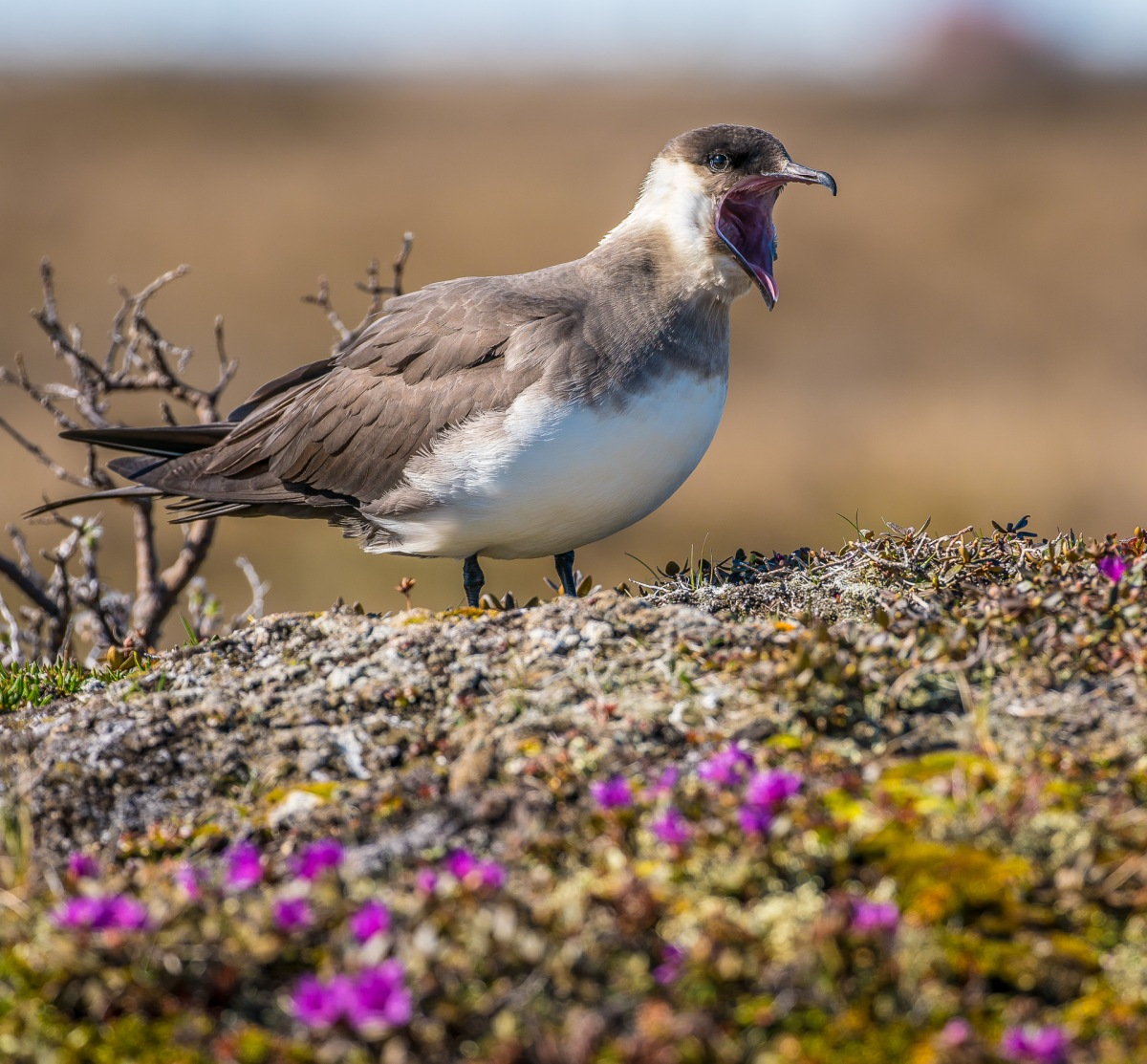 Churchill on Hudson Bay 2017: Parasitic Jaegers at Home
