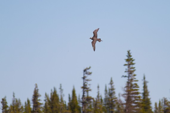 Parasitic Jaeger Launch Road Churchill Manitoba Canada IMG_1880