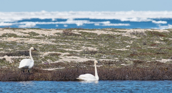 Tundra Swan Halfway Point Road Churchill Manitoba Canada-2