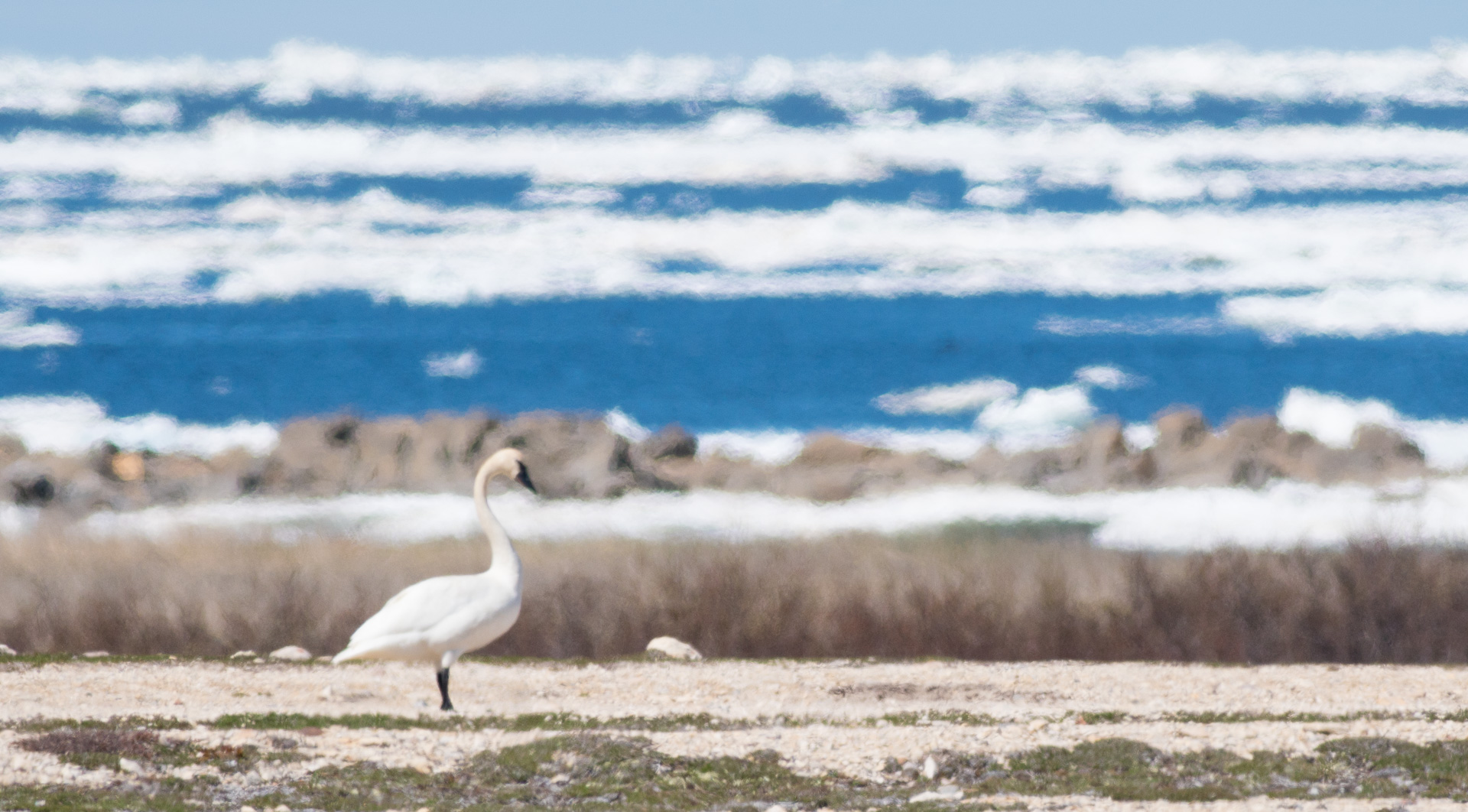 Tundra Swan Halfway Point Road Churchill Manitoba Canada-3