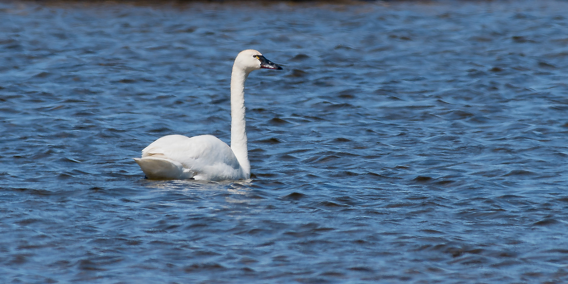 Tundra Swan Halfway Point Road Churchill Manitoba Canada