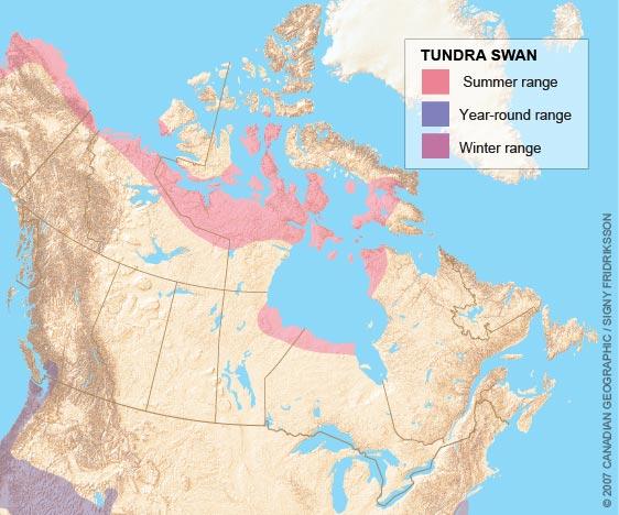 tundra_swan_range