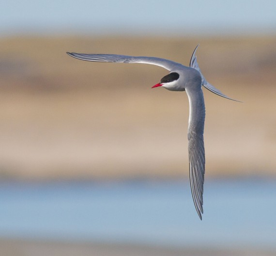 Arctic Tern in flight Churchill MB Canada IMG_0804