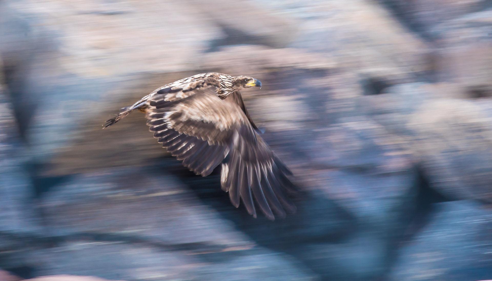 Bald Eagle immature flight breakwall Wisconsin Point Superior WI DSC07699