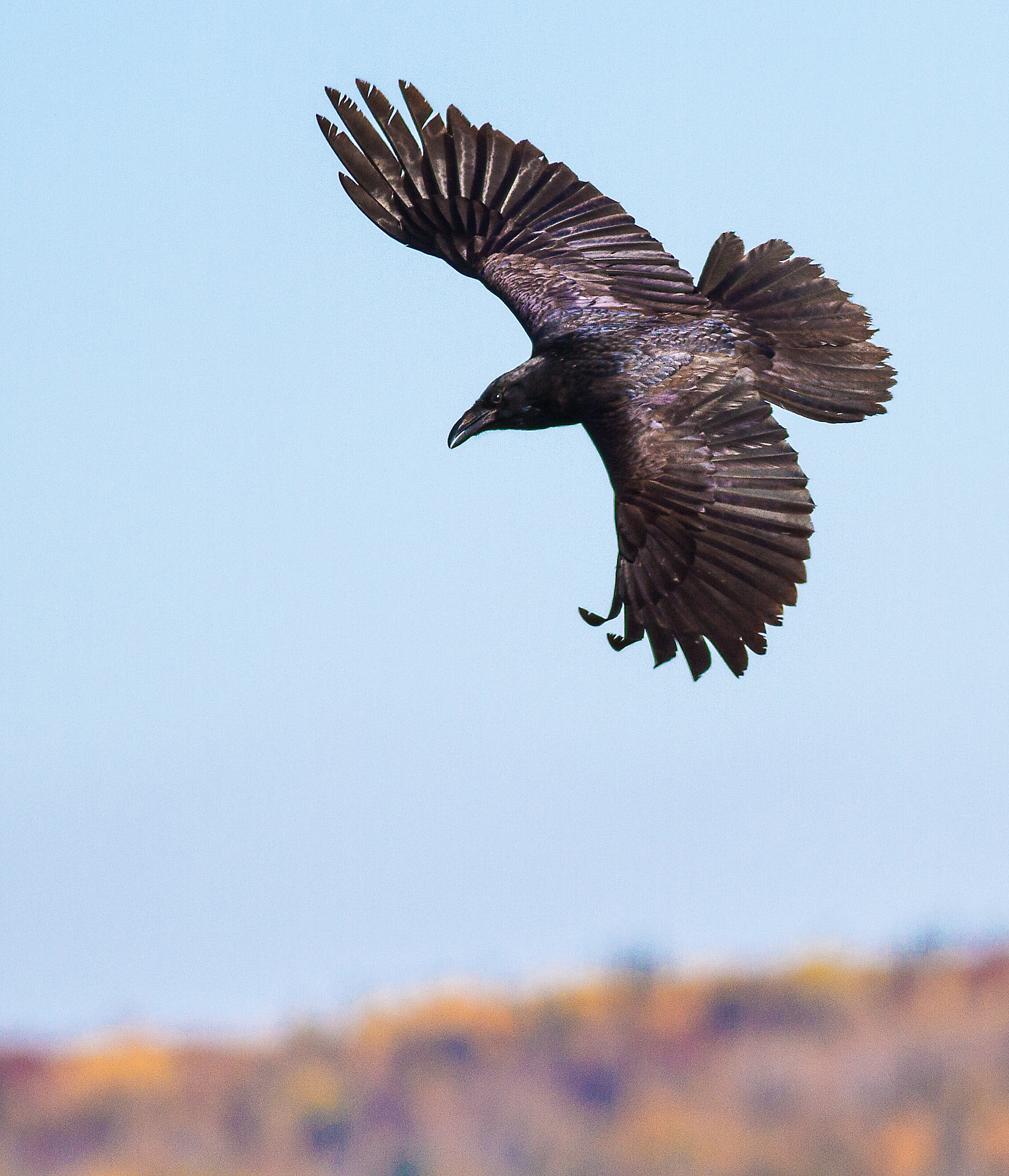 Common Raven in flight over Hawk Ridge Bird Observatory Duluth MN IMG_0283