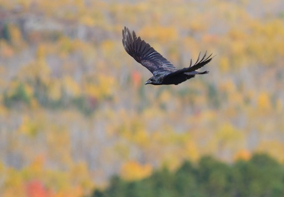 Common Raven in flight over Hawk Ridge Bird Observatory Duluth MN IMG_0285