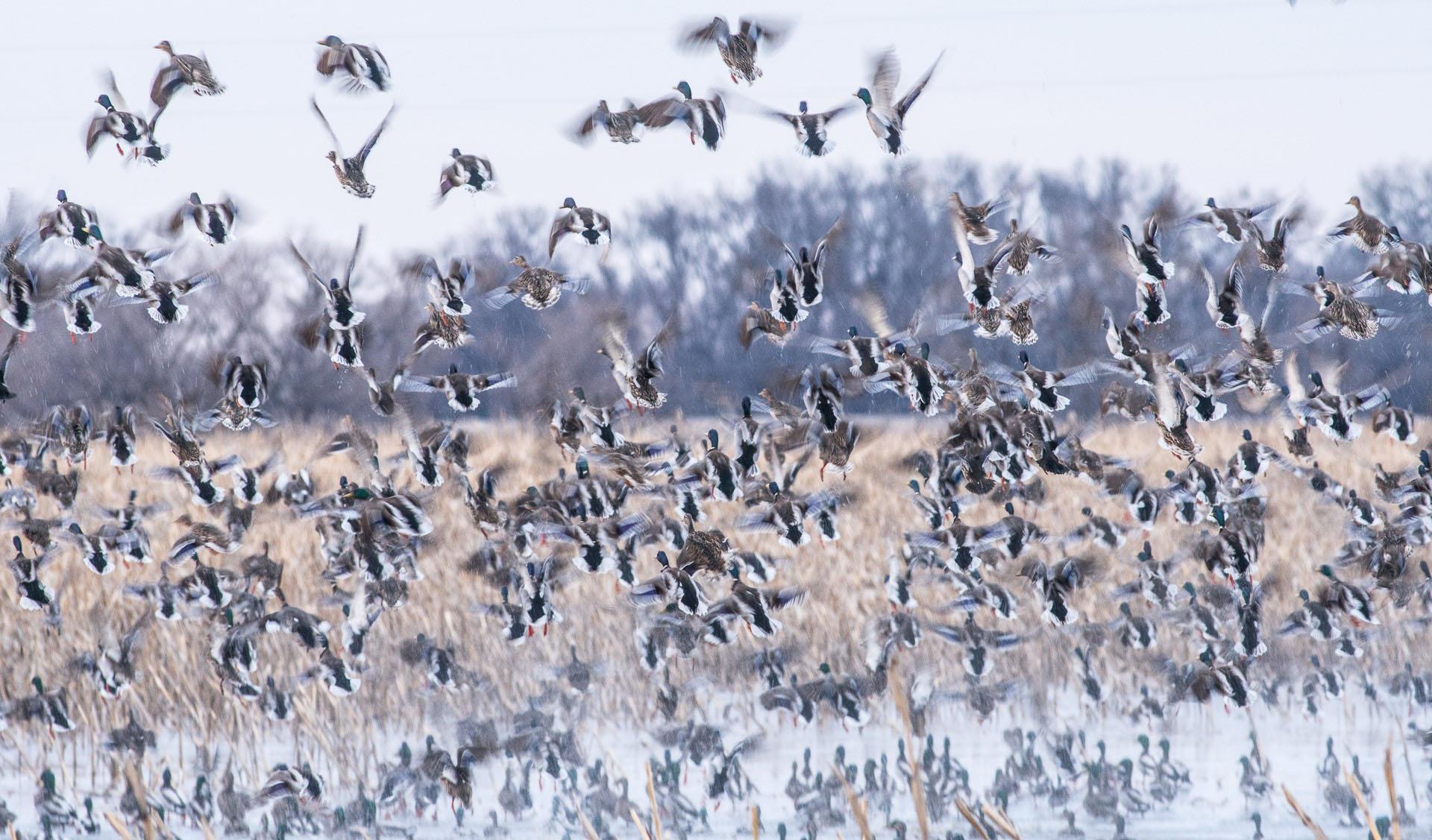 Mallards taking flight western MN DSC03330