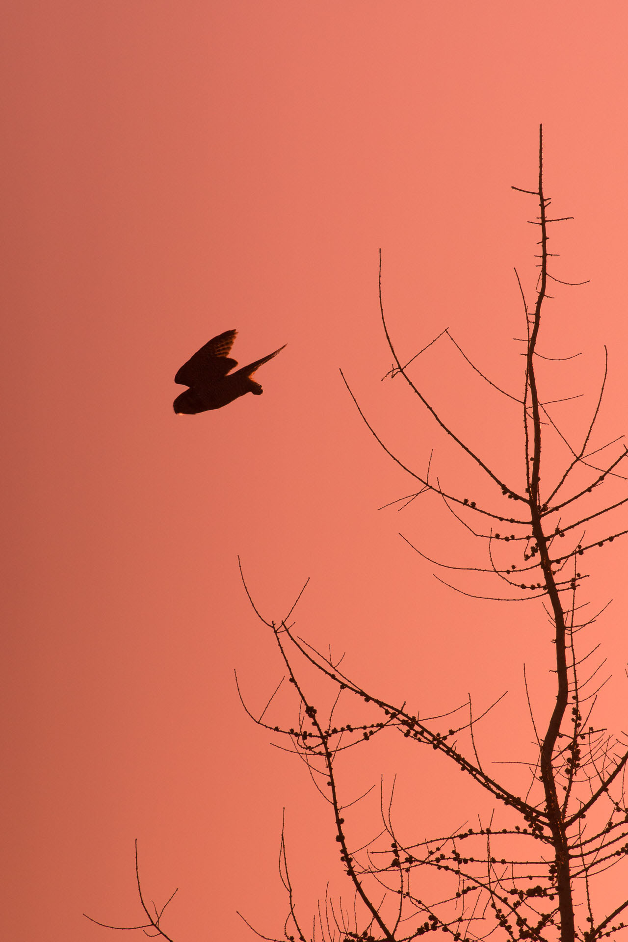 Northern Hawk Owl Zim Road Yoki Road Sax-Zim Bog MN DSC03029