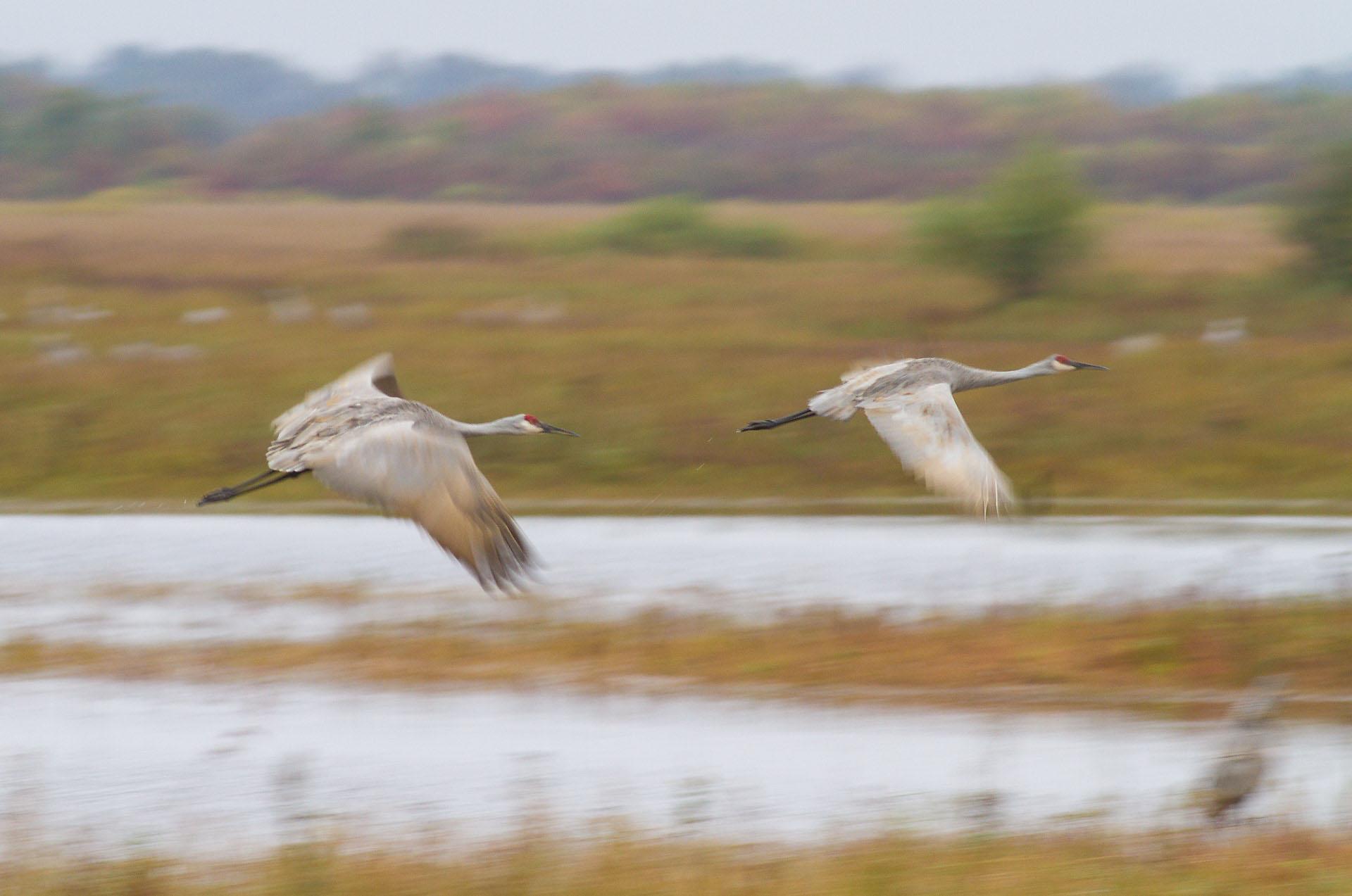 Sandhill Crane motion blur panning flight Crex Meadows Grantsburg WI IMG_0252