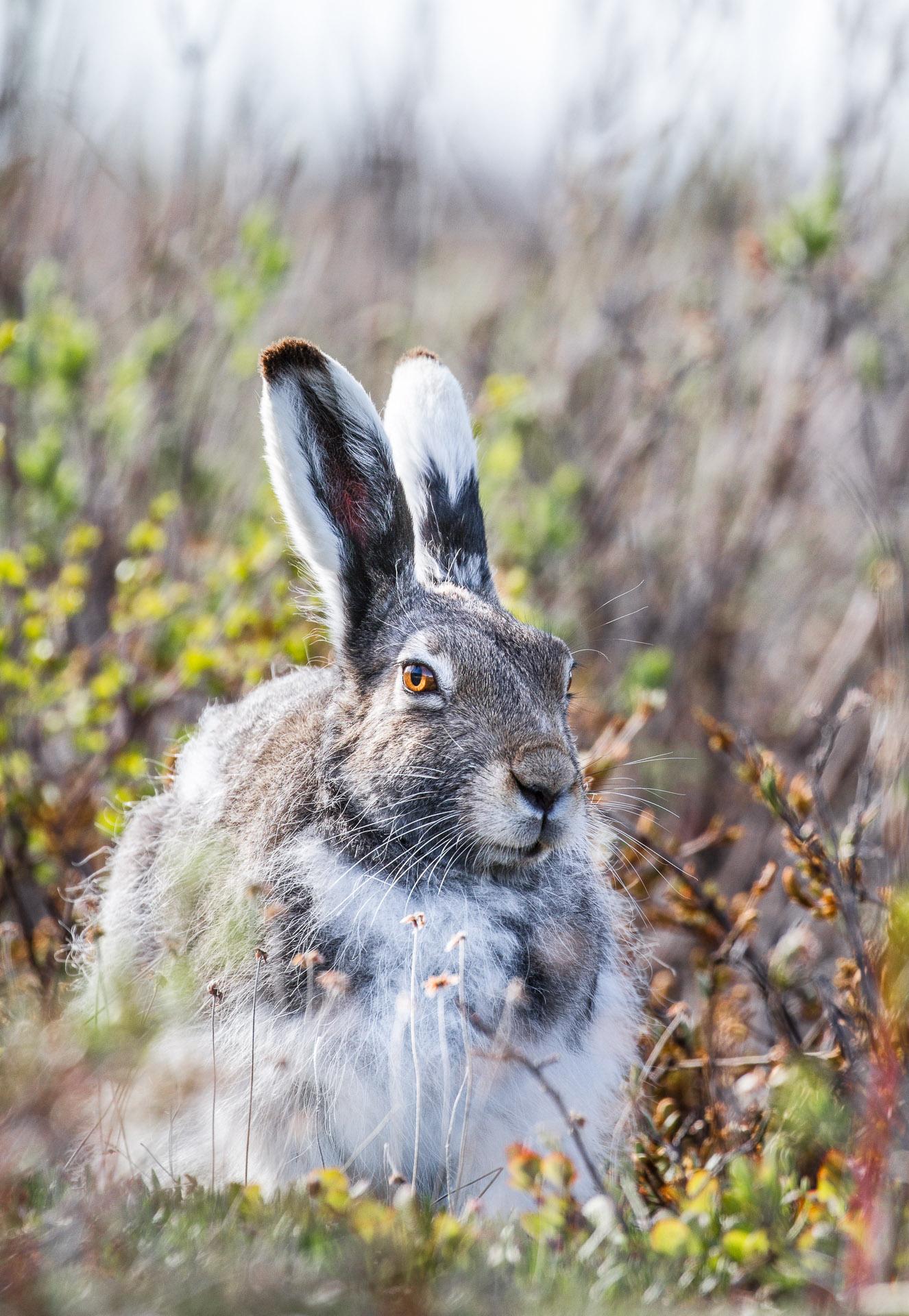 Arctic Hare Lepus arcticus Churchill Northern Studies Center Churchill Manitoba Canada IMG_1174
