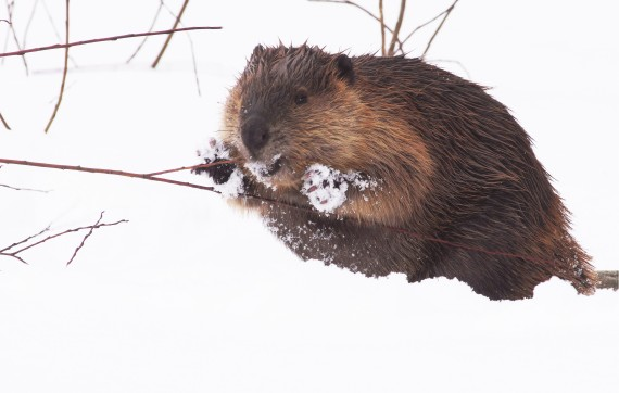 Beaver composite frame extraction from video Stickney Road Sax-Zim Bog MN ADJUSTED