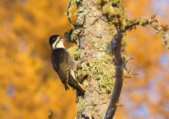 Black-backed Woodpecker female Tamarack gold Orr Bog Walk Orr MN IMG_4321
