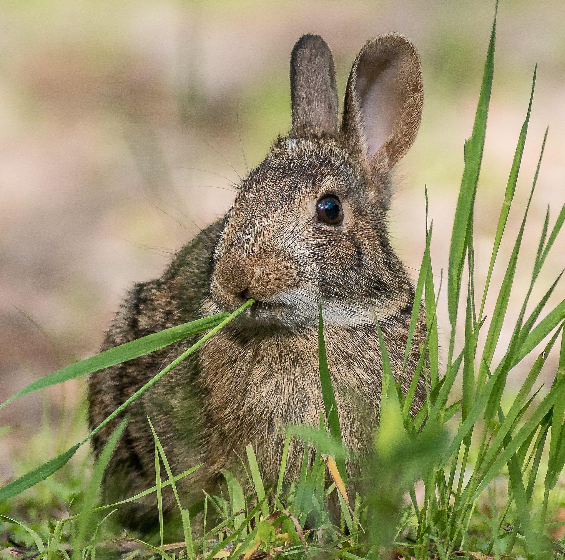 Cottontail rabbit Skogstjarna Carlton County MN DSC01933