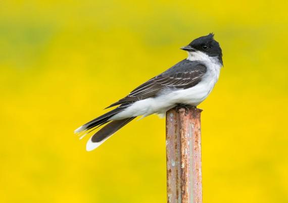 Eastern Kingbird Arkola Road-CR52 fencepost Sax-Zim Bog MN DSC08036