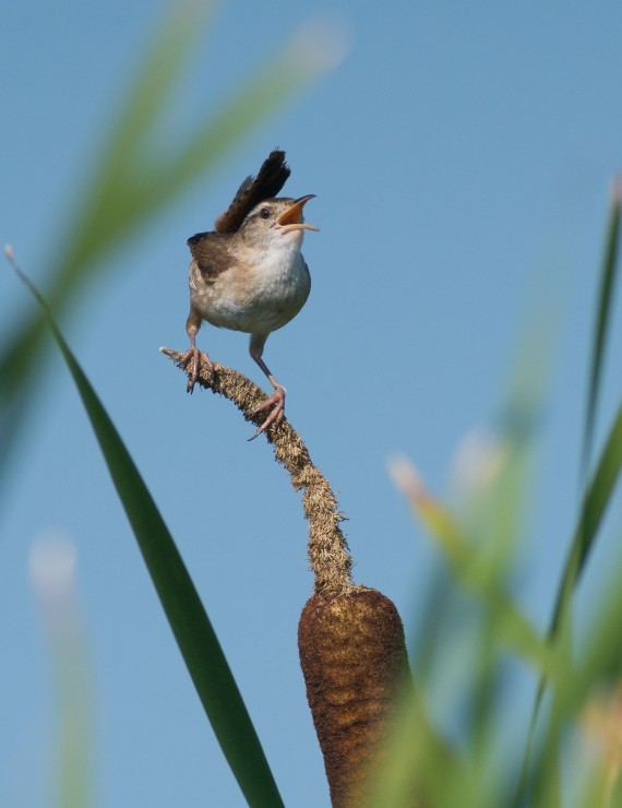 Marsh Wren Cowhorn Lake Itasca County MN DSC02622