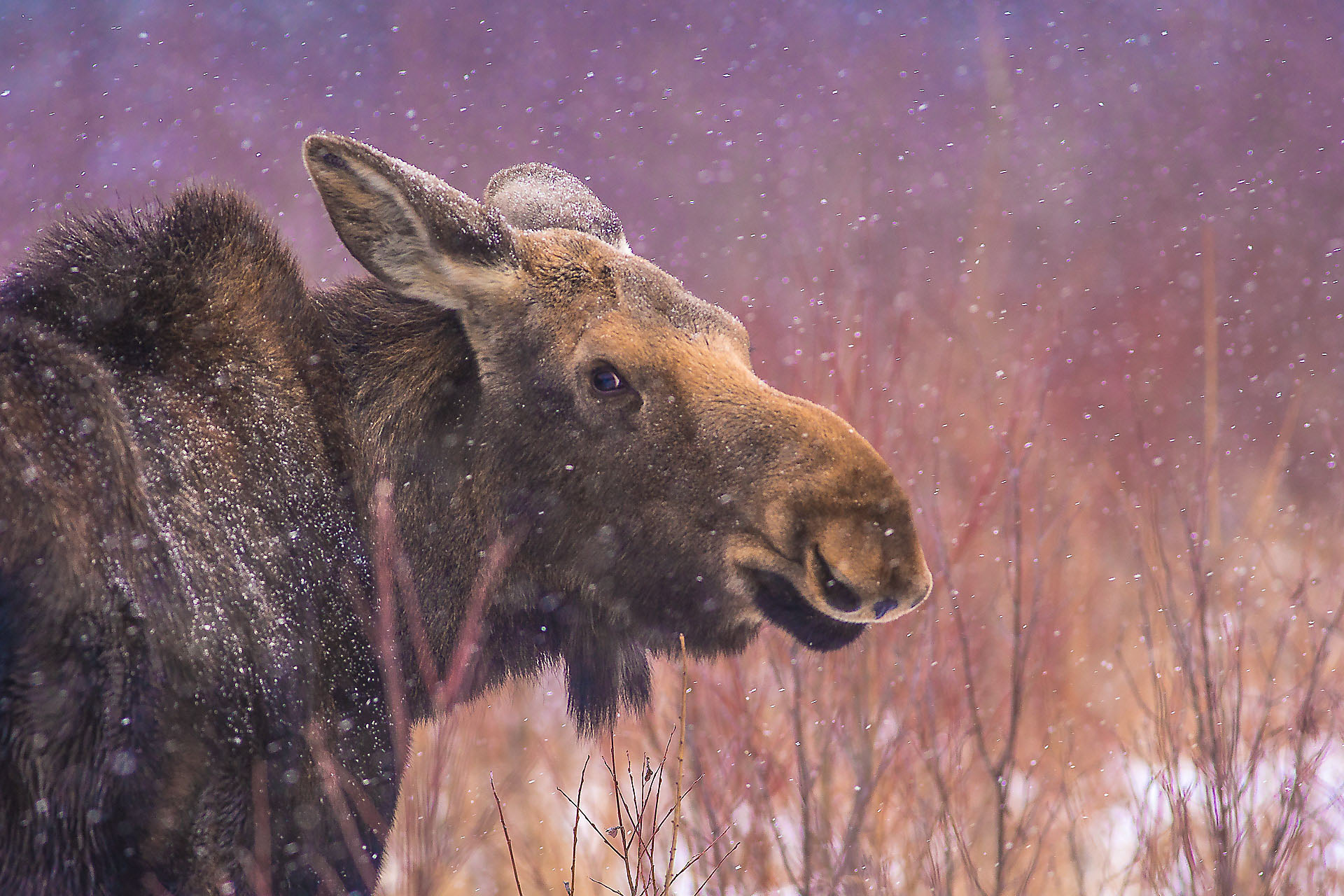 Moose cow yearling in snow Blue Spruce Road Sax-Zim Bog MN DSC02589