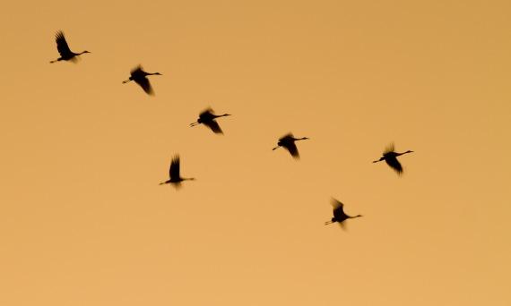 Sandhill Crane flock fly-in Crex Meadows Grantsburg WI IMG_0125
