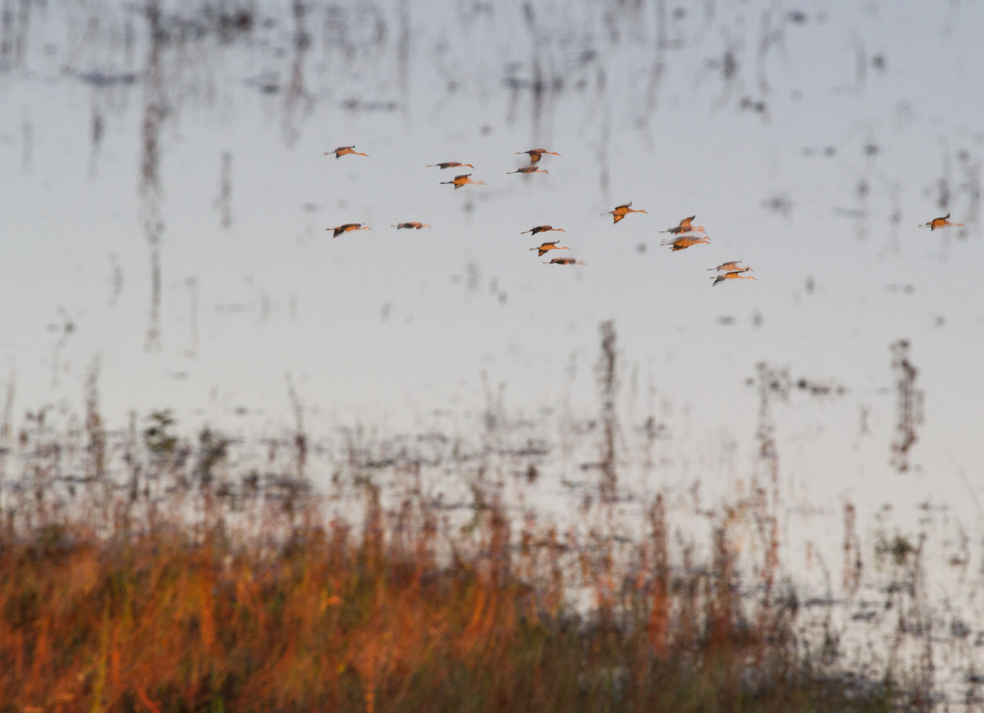 Sandhill Crane flock fly-in reflection Crex Meadows Grantsburg WI IMG_0050